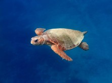 116018_caretta-caretta-male