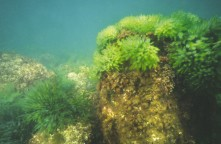40221_codium (algae)