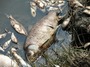 Photo by Debbie Payton, OR&R, HMRD. Fish Kill along Hwy 73 9/30/2005 Port Arthur, TX