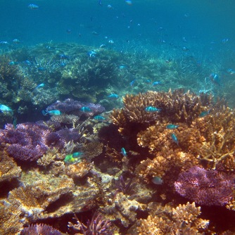 colorful corals under the sea, the coral structures are fromed from a skeleton of dead coral polyps, only the surface of the coral is alive, corals are a type of animal not a plant